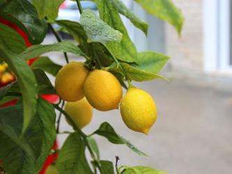 Le délicat entretien d'un citronnier