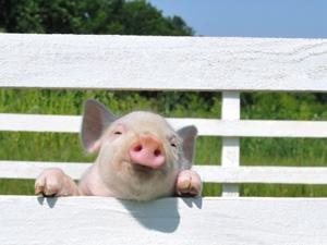 ça se passe dans nos régions  Cochon-domestique-123rf