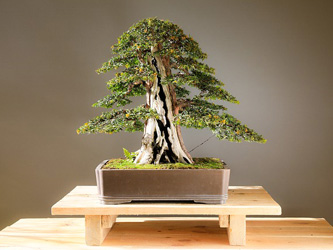 Le Bonsaï : histoire millénaire de cet arbre miniature