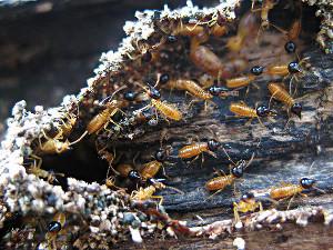 Se débarrasser définitivement des termites